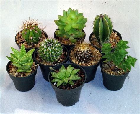 amazon succulents instant cactus succulent collection 8 plants 2 quot pots