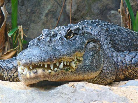 File:Alligator mississippiensis 01.JPG
