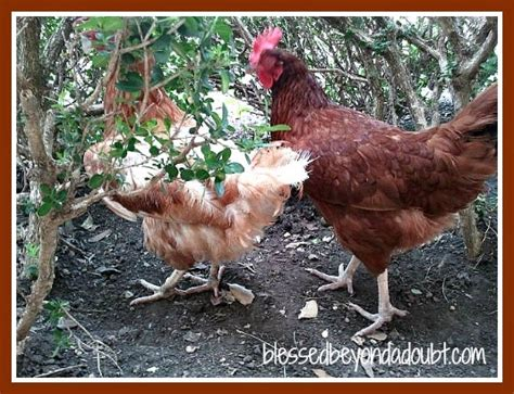 Raising Chickens In Your Backyard Raising Chickens In Your Backyard Top 9 Reasons Community Chickens