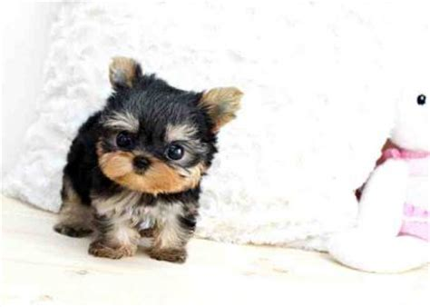 how much are teacup dogs dogs classifieds and adorable teacup yorkie puppies for ado how much is that