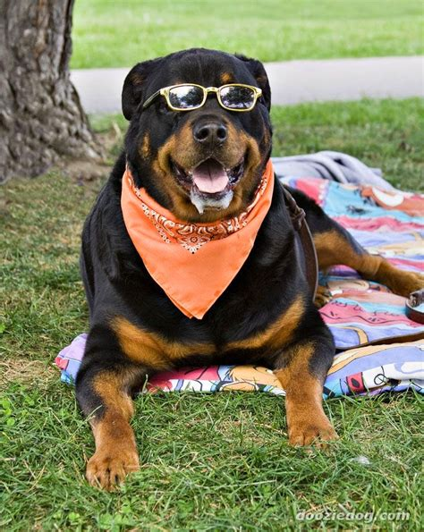 about rottweilers everything about your rottweiler my dogs