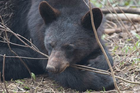 north american bear center why people fear bears a mother bear and her cubs wise about bears