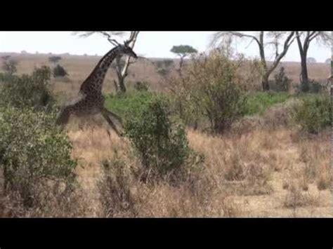 imagenes de leones cazando jirafas rapaces 2010 leon cazando jirafas youtube