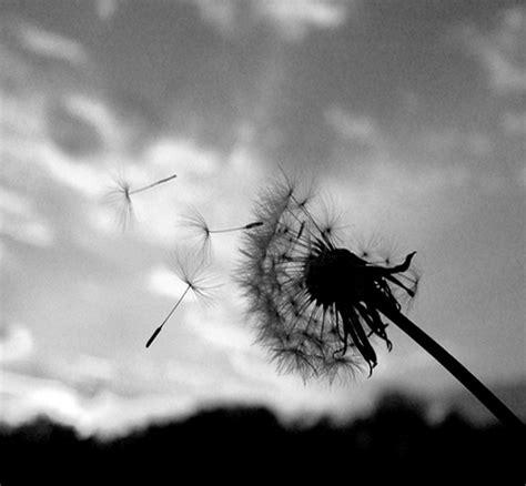 black and white dandelion wallpaper dandelion the wanderer s thoughts