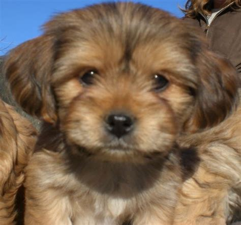yorkie apso 34 best dogs images on