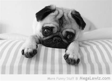 cutest pug pictures pug megalawlz