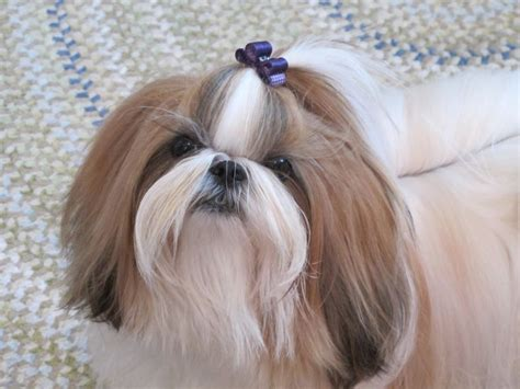top knot shih tzu 1000 images about shih tzu s on pets puppys and bar