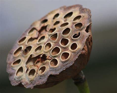 lotus flower seed pod image gallery seedpod