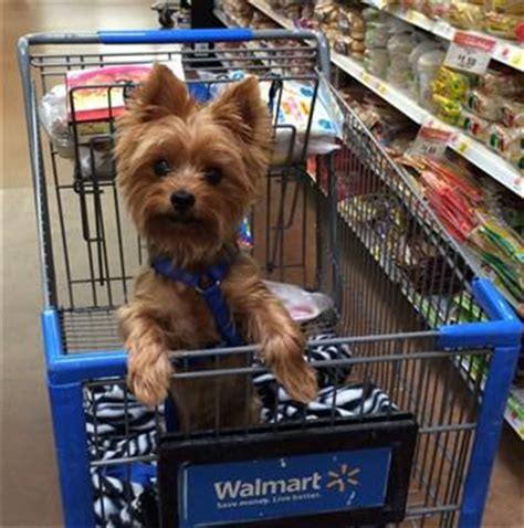 how to help yorkies mate choosing the best collar and harness for a yorkie
