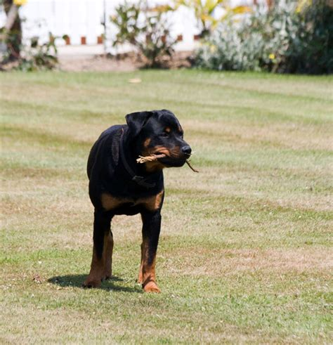 information about rottweilers rottweiler information facts about a strong and intelligent breed infobarrel