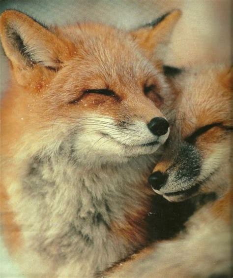 the man red fox 233 best images about of fox and foe in the land of snow on iceland fantastic mr