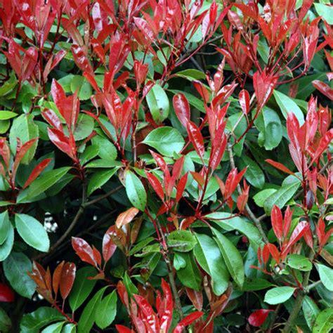 photinia robin photinia robin clarenbridge garden centre