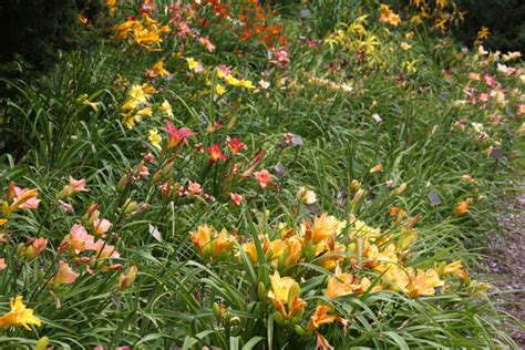 how to divide daylilies garden bulb blog flower bulbs gardening tips