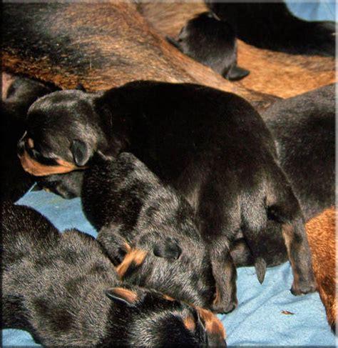 rottweiler breeders in virginia german rottweiler puppies rottweiler puppies rottweiler breeder virginia