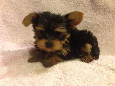 yorkie on sale terrier puppy for sale east pets4homes