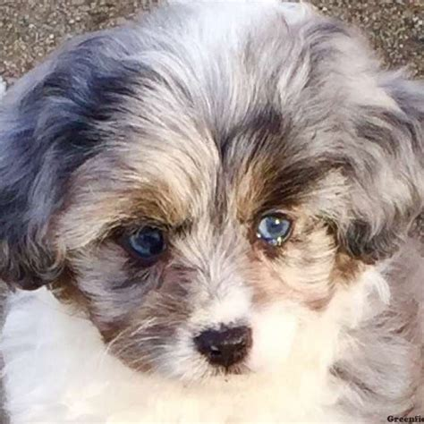 mini aussiedoodle puppies for sale aussiedoodle miniature puppy for sale in illinois