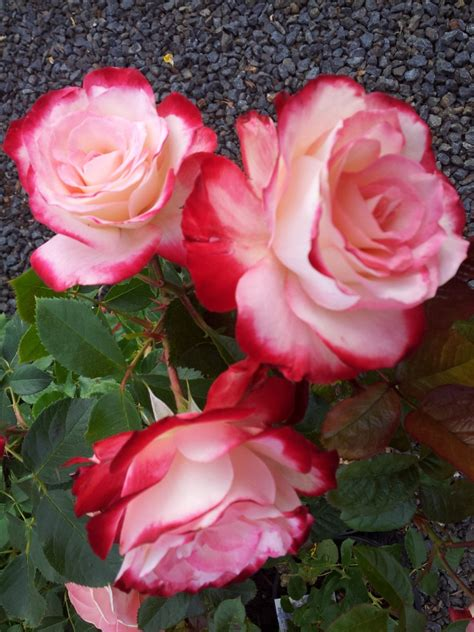 FIRE 'N' ICE – Modern shrub rose/floribunda rose which has ... Fire And Ice Roses