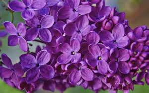purple lilac joanies garden flower images photo gallery