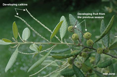 fruit tree nursery oregon lithocarpus densiflorus landscape plants oregon state
