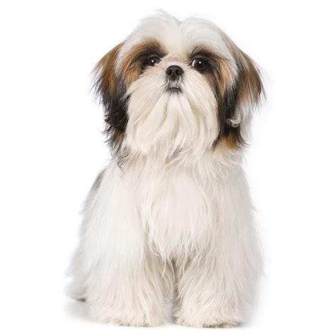 shih tzu dog breed information temperament health