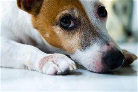 myasthenia gravis in dogs botox ocular myasthenia gravis