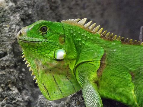 imagenes iguanas verdes la iguana verde el blog de bichoman 237 a