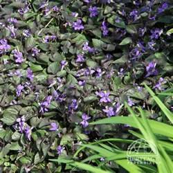 top 10 perennials for shady gardens dry shade purple