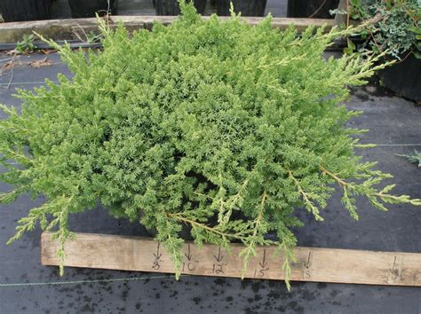Japanese Garden Juniper by Tolerance Of Landscape Groundcover And Vine Species To