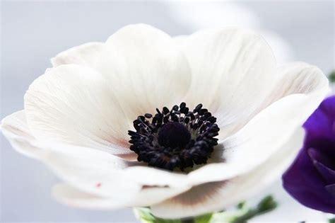 anemone fiore significato anemone significato significato fiori il significato