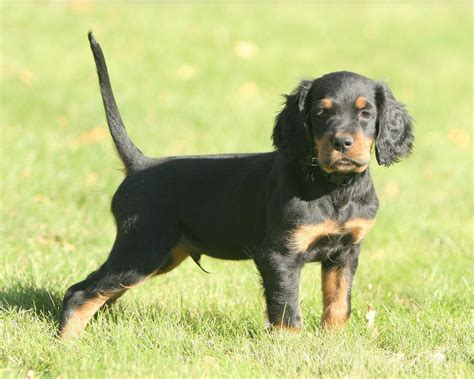 gordon setter dog temperament gordon setter info temperament care training puppies