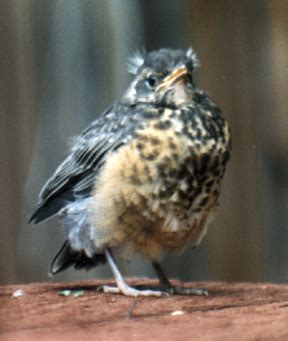 backyard birds salt lake city american robin