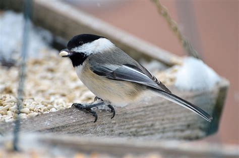 chickadee on the feeder photograph by chris tennis