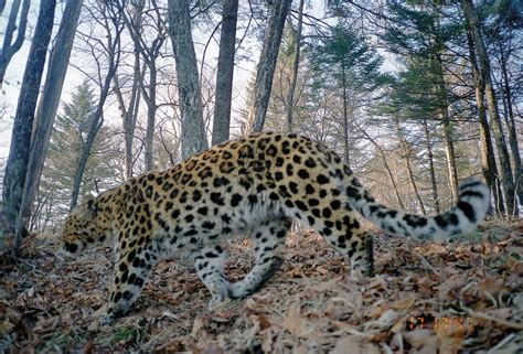 Gallery: Rare and Beautiful Amur Leopards   Endangered Species