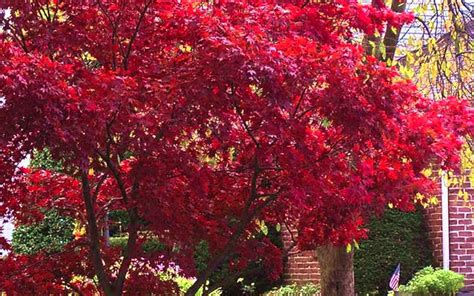 buy fireglow japanese maple tree for sale online from wilson bros gardens