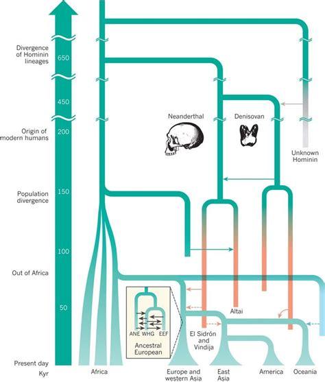 human evolution flowchart 42 best charts evolution images on human
