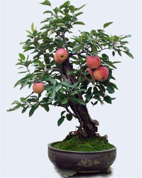 Bibit Buah Apel Merah cara menanam buah apel di dalam pot apple tree bongsai apple