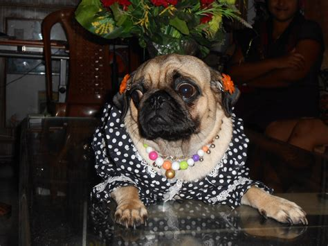 pugs inc pugs chintamani images frompo