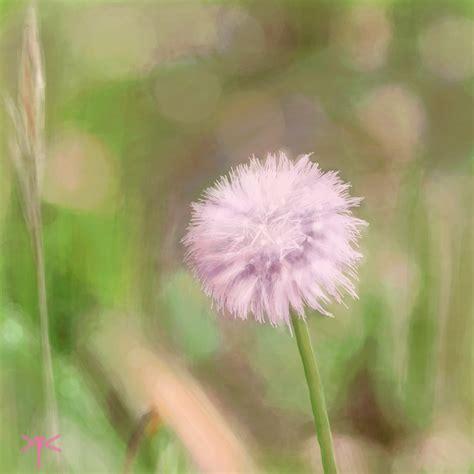 wallpaper pink dandelion pink dandelion by coixuong182 on deviantart