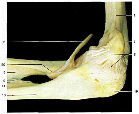 dolore gomito interno dolore gomito attivazioni biologiche