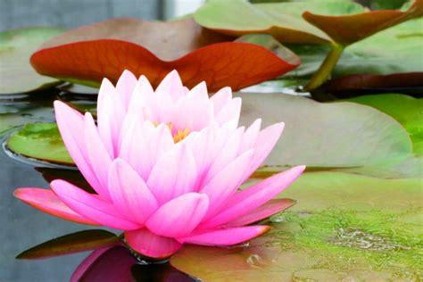 14 koleksi gambar bunga teratai paling cantik dan mempesona si gambar