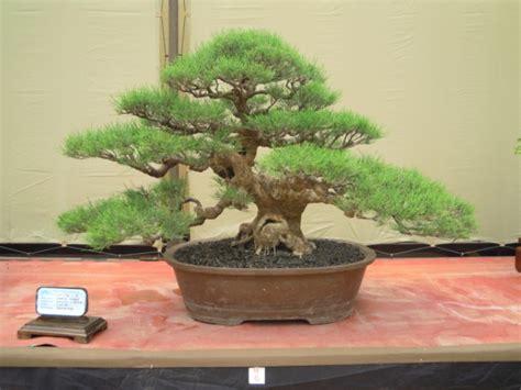 cara mudah merawat bonsai cemara udang budidaya bonsai