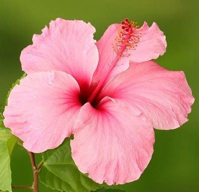 Hisbiscus Pink Hawaian 1 Chateau Du Mer House And Conference Hibiscus