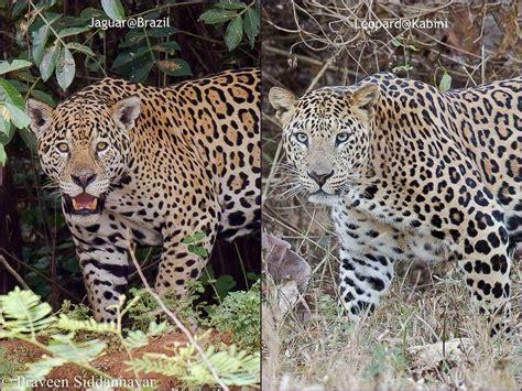 jaguar and cheetah jaguar versus leopard wildtrails india come experience