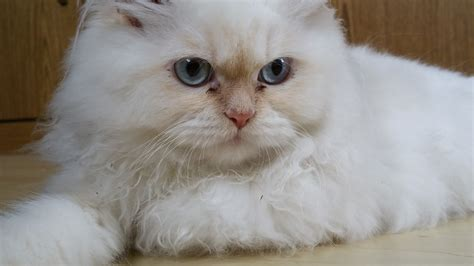 ragdoll white cat free images white whiskers vertebrate ragdoll