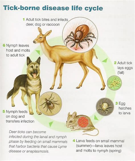 signs of lyme disease in dogs lyme heartworm state college veterinary hospital state college pa