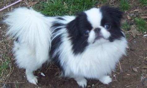 small dogs that don t grow breeds that don t grow big small sized tiny dogs pets world