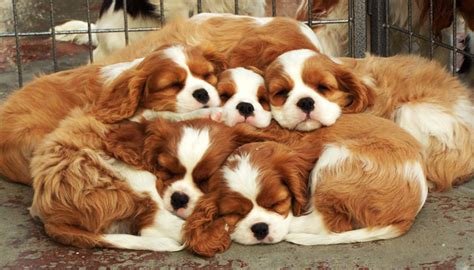 cavalier king charles spaniel puppies adoption cavalier king charles spaniel puppies gillcrest cavaliers