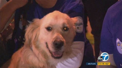 abc golden retrievers review 20 golden retrievers rescued from turkey arrive in socal abc7ny