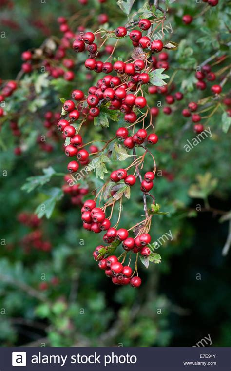 hawthorn quickthorn or may tree crataegus monogyna with