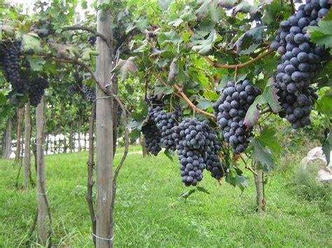 Training Grape Vines Pergola by Blog